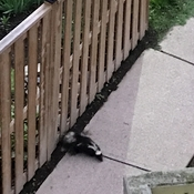 Skunk on a early stroll