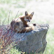 Fox was relaxing on a rock.