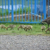Hungry Baby Goslings