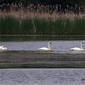 Wild Swans at Ingleside Ontario