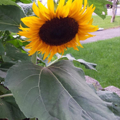 Sunflower Is A Special Flower