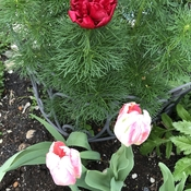 Fern peony and tulips