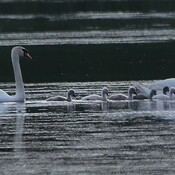 Wild Mute Swans and cygnets