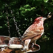 Purple Finch taking a break...