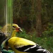 Male and female gold finches