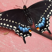Black Swallowtail on our Patio