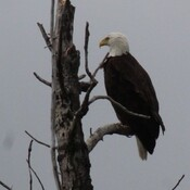 spotted a bald eagle