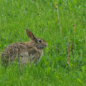 Backyard rabbit