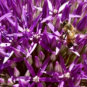 Bee on Purple Allium