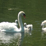 Mother Swan & kids