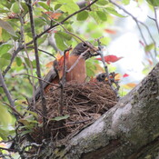 4 hungry baby robins