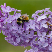 Lilac with bee, Elliot Lake.