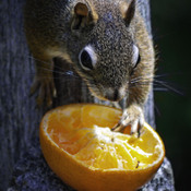 A squirrel and A orange!