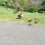 A family of Ducks