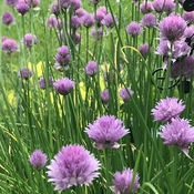 The garden chive gets very little attention but is so beautiful.