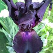 Iris germanica 'Hello Darkness""