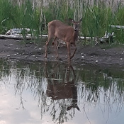 doe by the lake