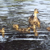 MALLARD and her BROOD