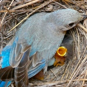 NEWBORN BLUEBIRDS!