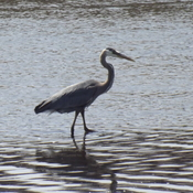 BLUE HERON at BOULVAED LAKE