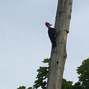 2 Pileated Woodpecker