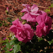 Fiesty little Rose Bush.