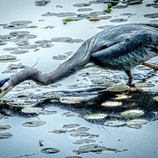 Pacific Blue Heron