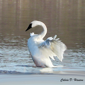 Rare Trumpeter Swan at Long Sault Parkway