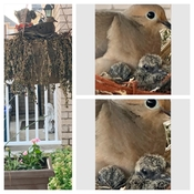 Dove stole my hanging flower basket.