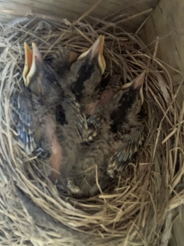 Robin hatchlings Fraserville, Ontario, CA