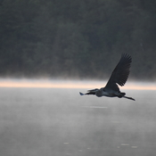 Heron flyby at dawn