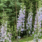Beautiful delphiniums