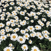 Loving the daisies