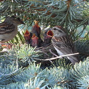 Chipping Sparrows with Babies
