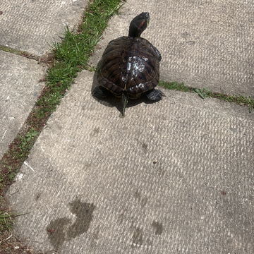 My turtles first summer walk