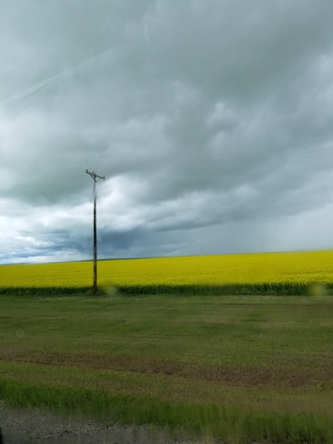 light rain on a beautiful canola crop Elrose, SK