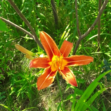Single Tiger Lily on Port Union waterfront trail