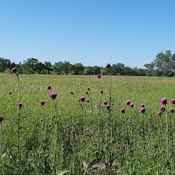 Field of Thistles