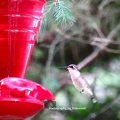 Ruby red throated hummingbird