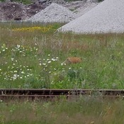 Fox running through the Grasd