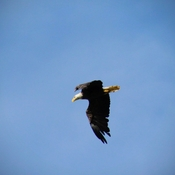 Hawk chasing Bald Eagle