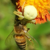 demise of a honey bee