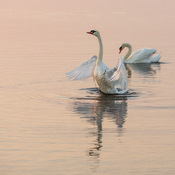 Two swans on the Bay of Quinte