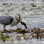 Heron lunch, Elliot Lake.