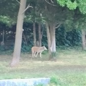 Coyote at Gage Park