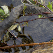 Water snake, Elliot Lake.