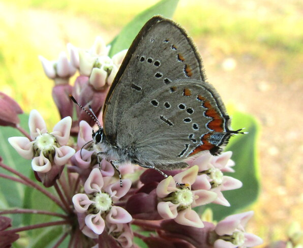 Gray Hairstreak Butterfly Ottawa, ON