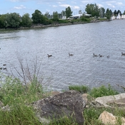 Geese and ducks in the Ottawa river