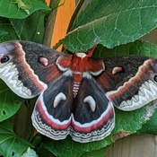 Cecropia moth?