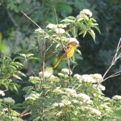 Little Oriole